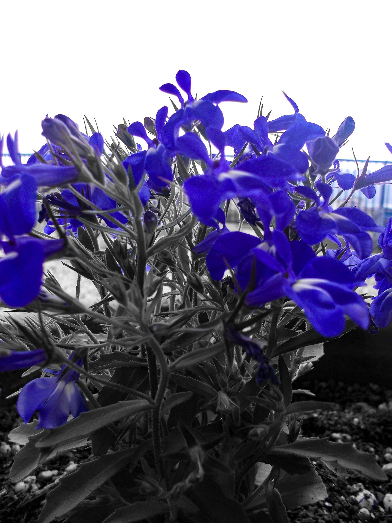 ロベリアの花