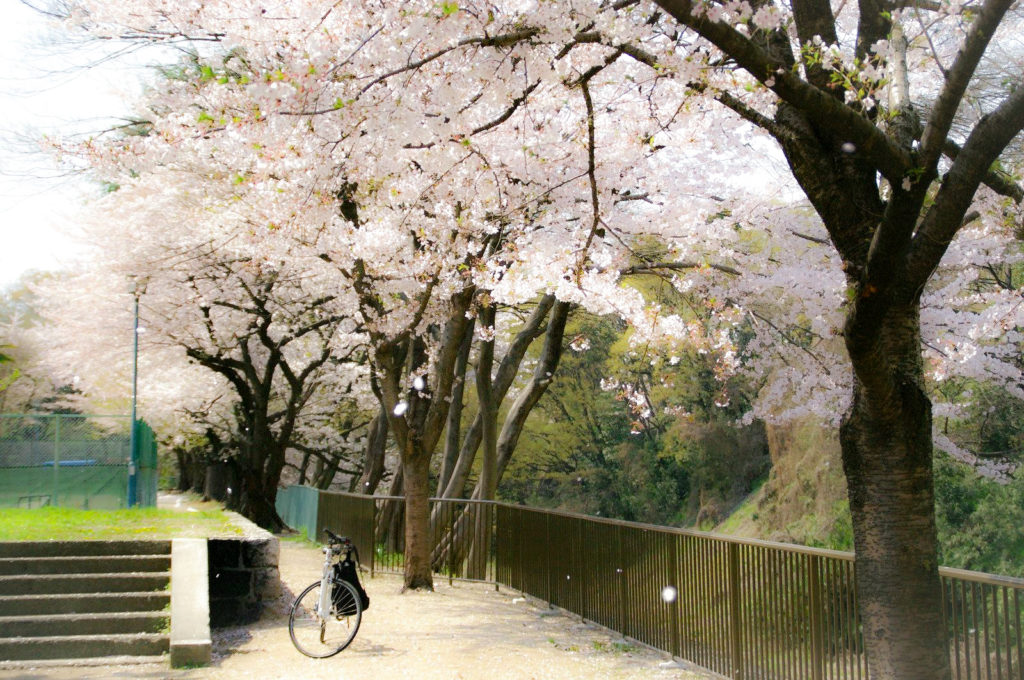 満開の桜と自転車