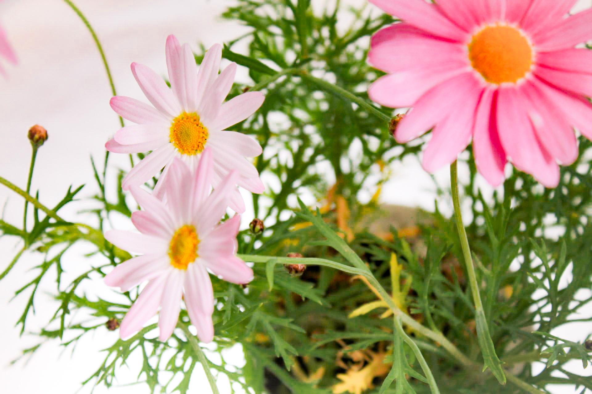 白とピンクのマーガレット