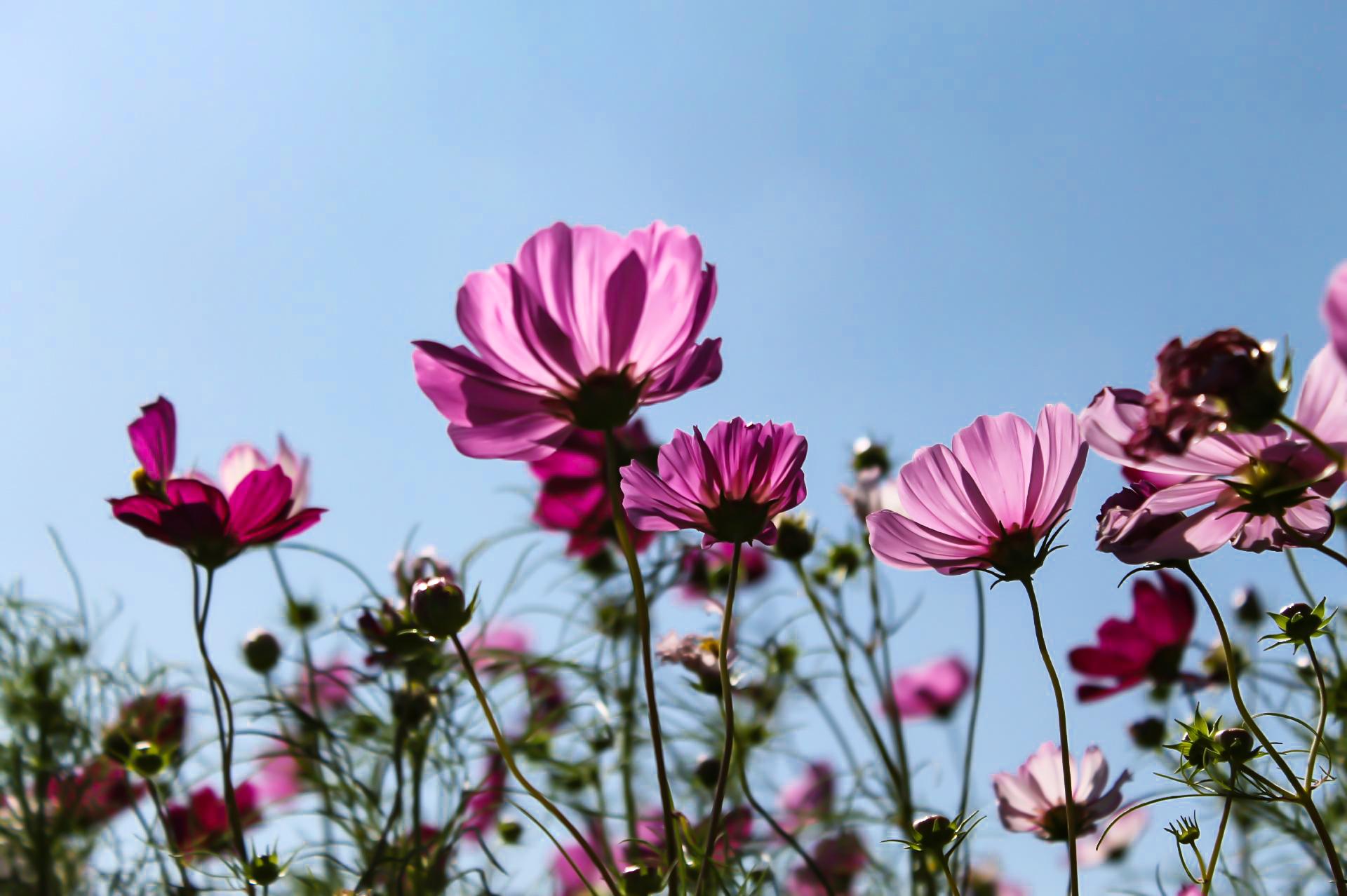 太陽に光を浴びて透き通った紫色のコスモス