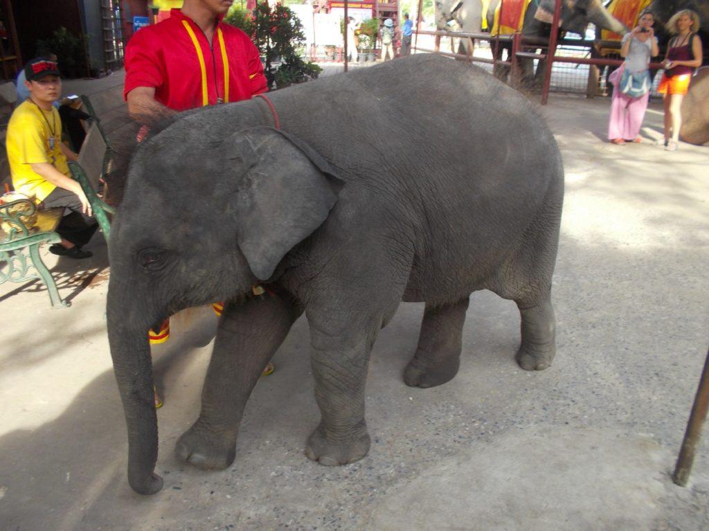 タイ王国で子象を扱う親子