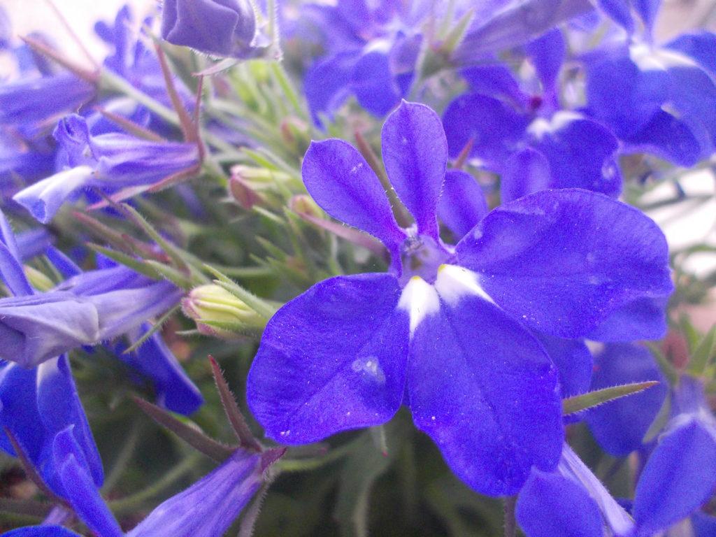 ロベリアの花言葉、誕生花