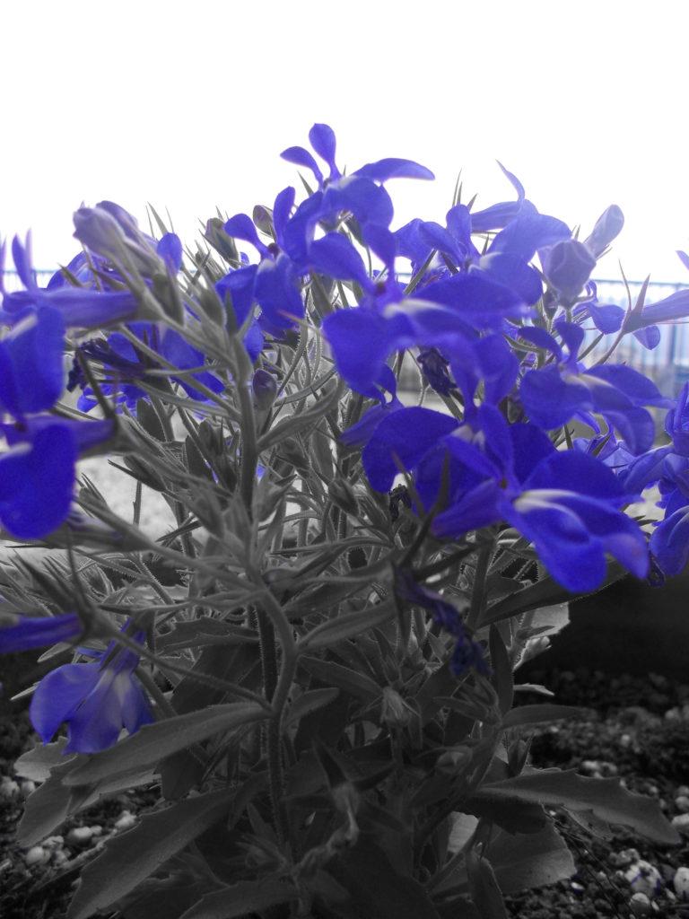 ロベリアの花(写真加工あり)