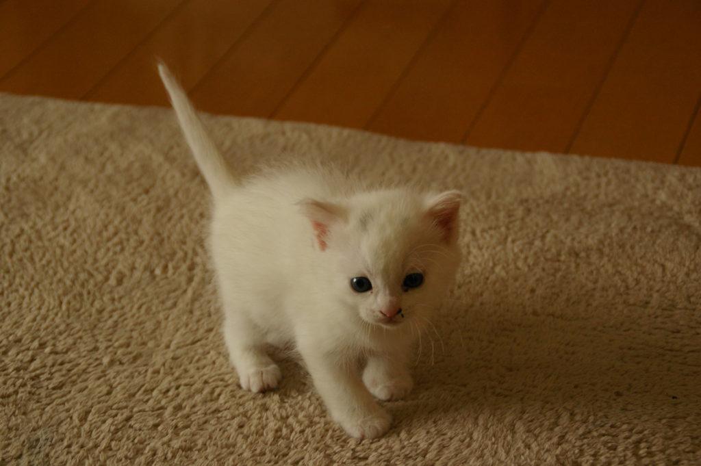 前脚が小さくてかわいい白い子猫