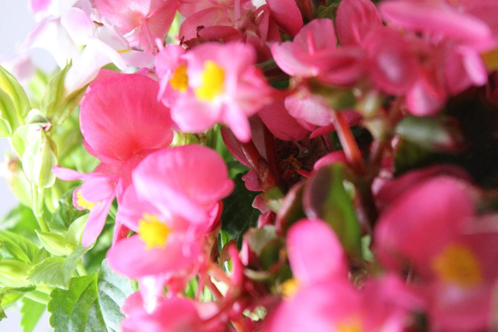 ベゴニアの花言葉、誕生花