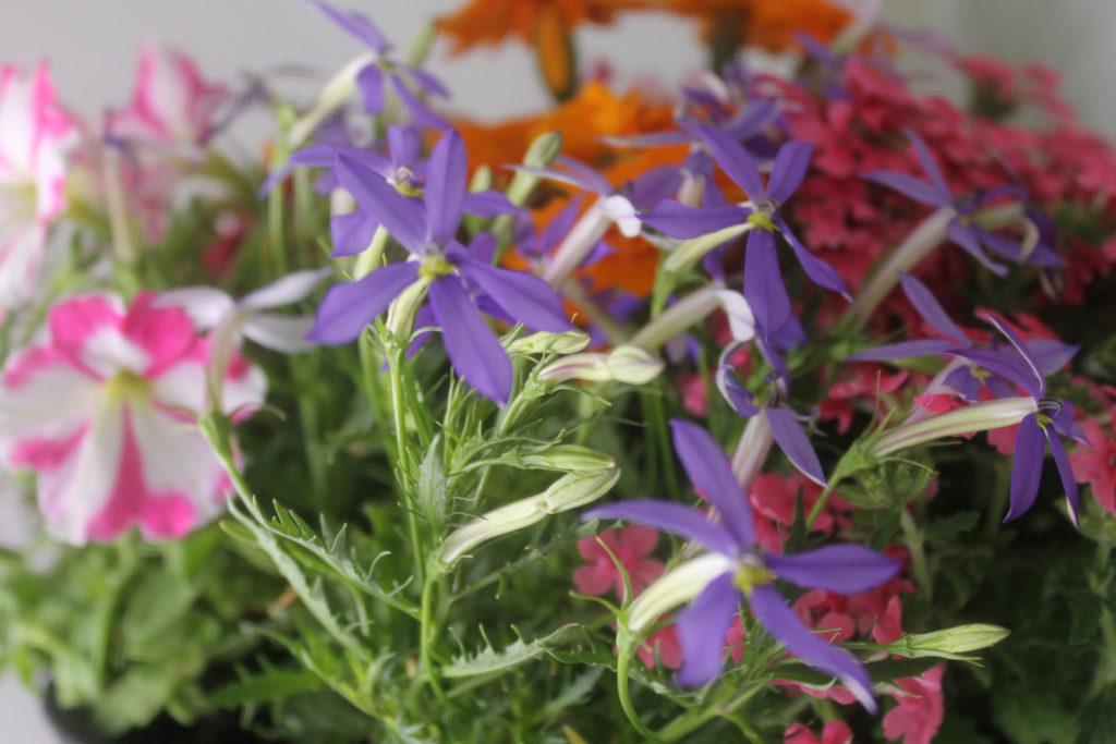 寄せ植えのアクセントに紫のイソトマ