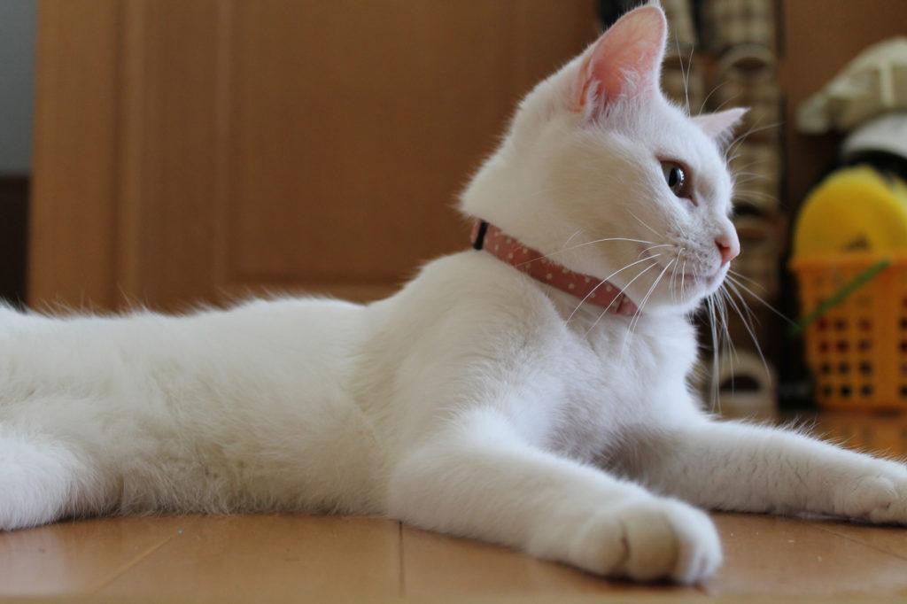 スフィンクス気取りの白猫のマロ