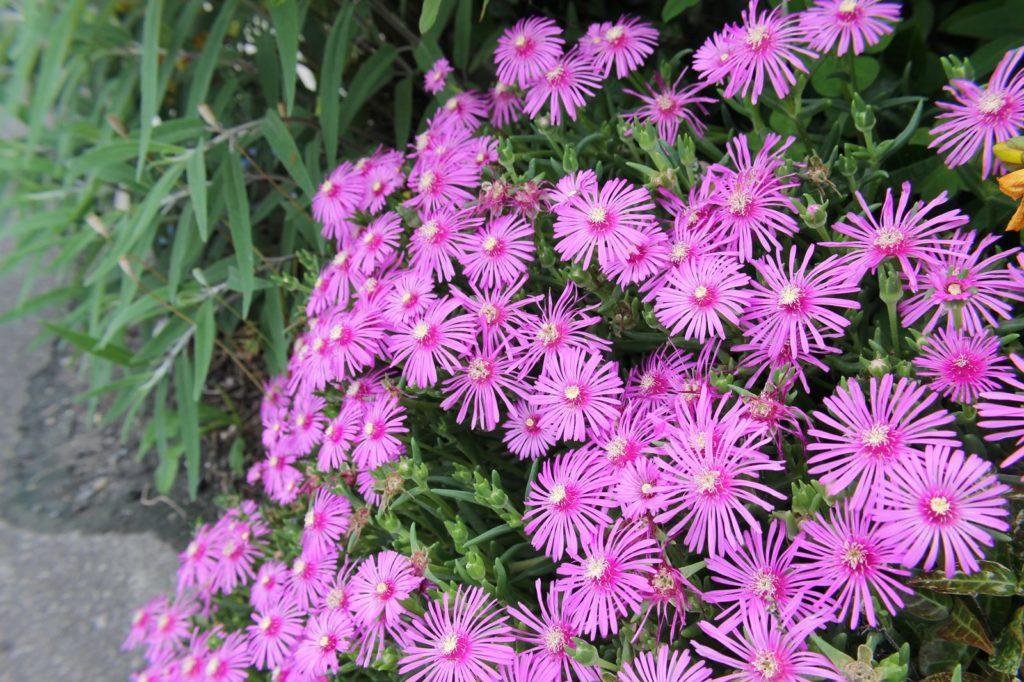 歩道脇に咲く綺麗な紫色の松葉菊(マツバギク)