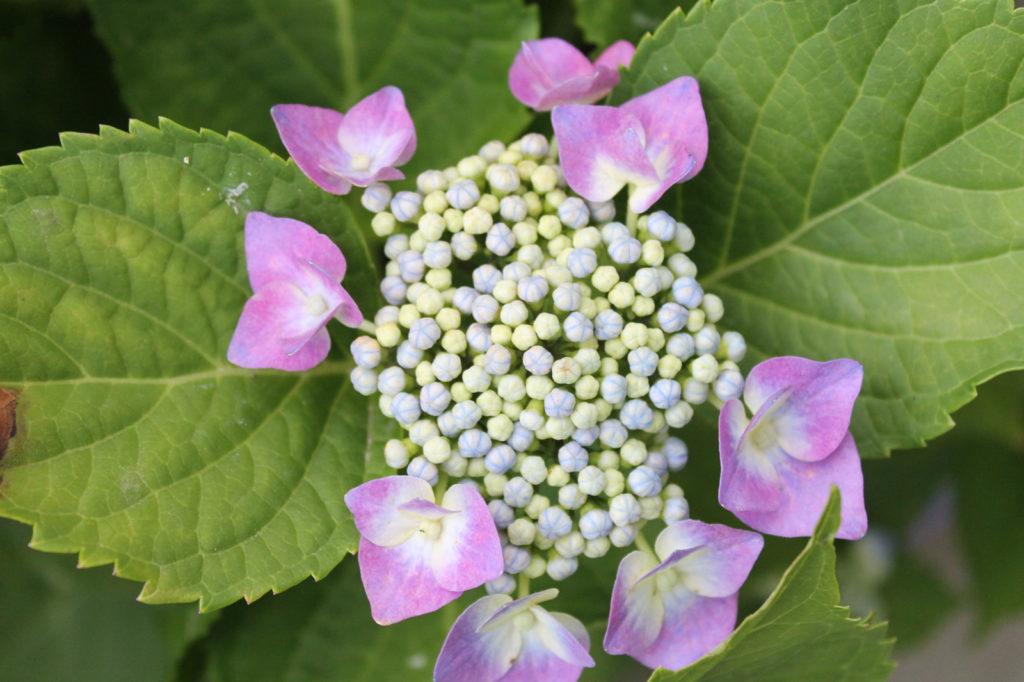 額紫陽花(がくあじさい)