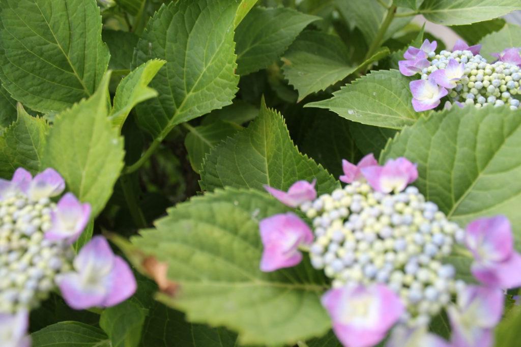 額紫陽花(がくあじさい)2