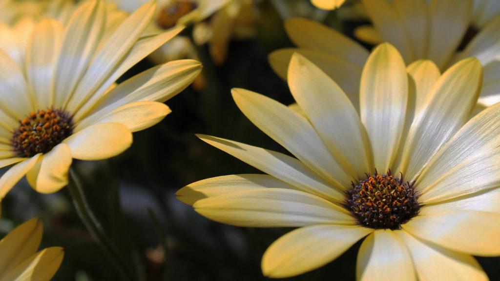 デイジーの誕生花と開花時期は