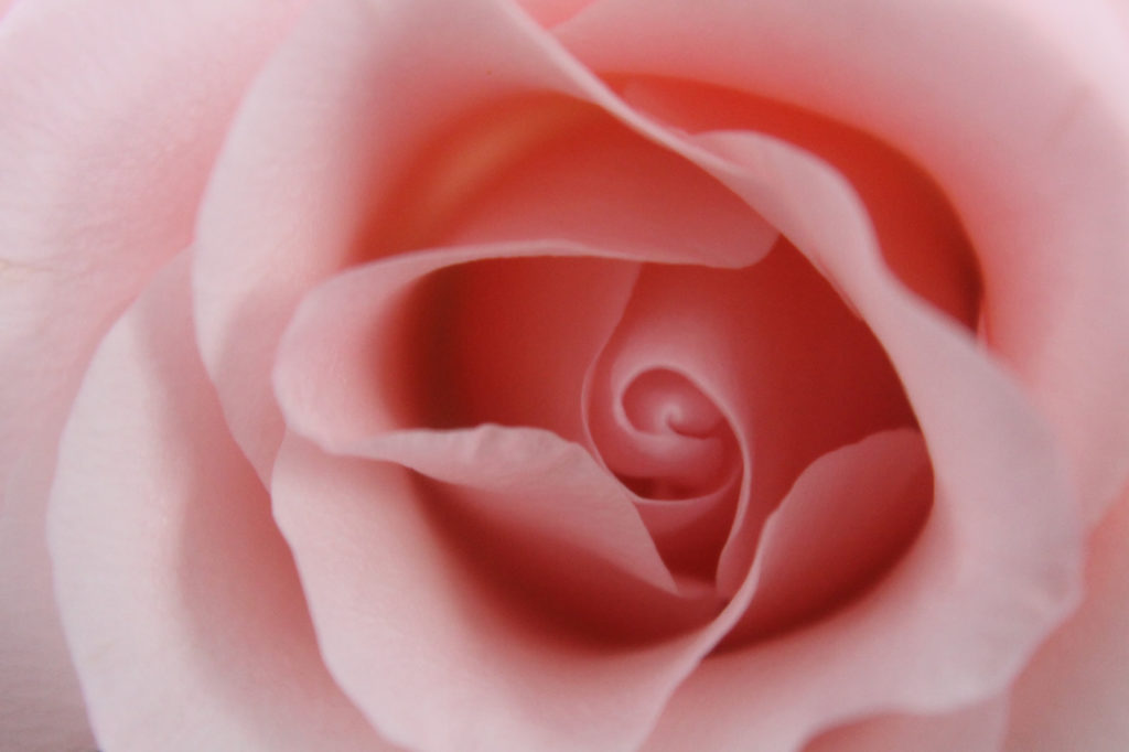 透明感のあるピンク色の薔薇
