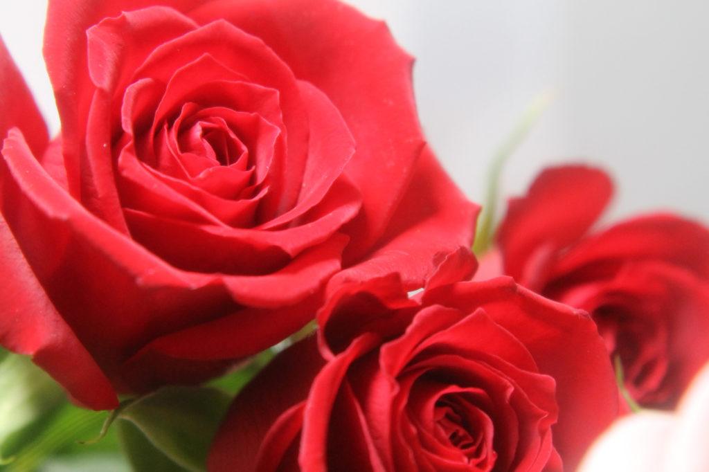 情熱の赤い薔薇 無料画像フリー写真素材activephotostyle