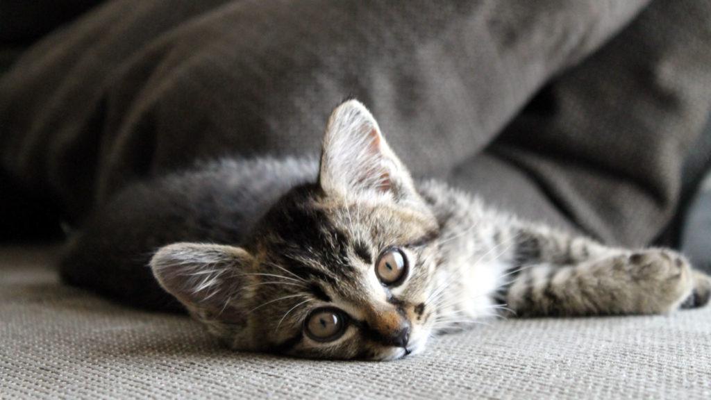ソファーに横たわる子猫