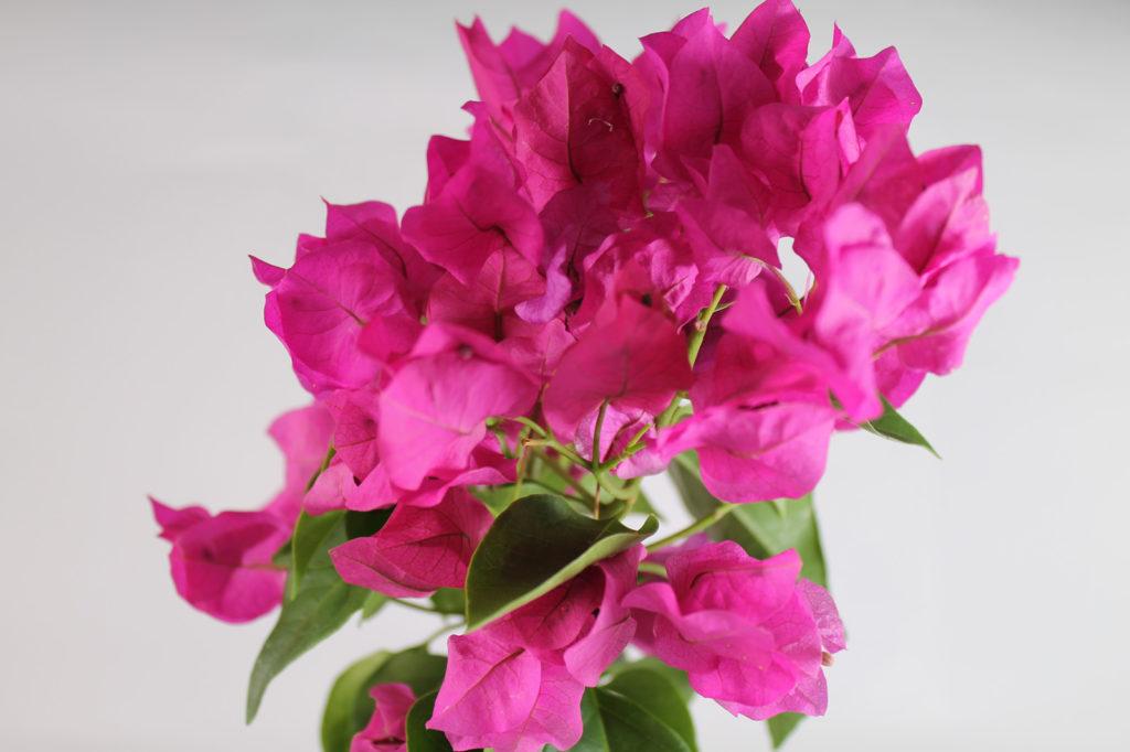 ブーゲンビリアの花言葉