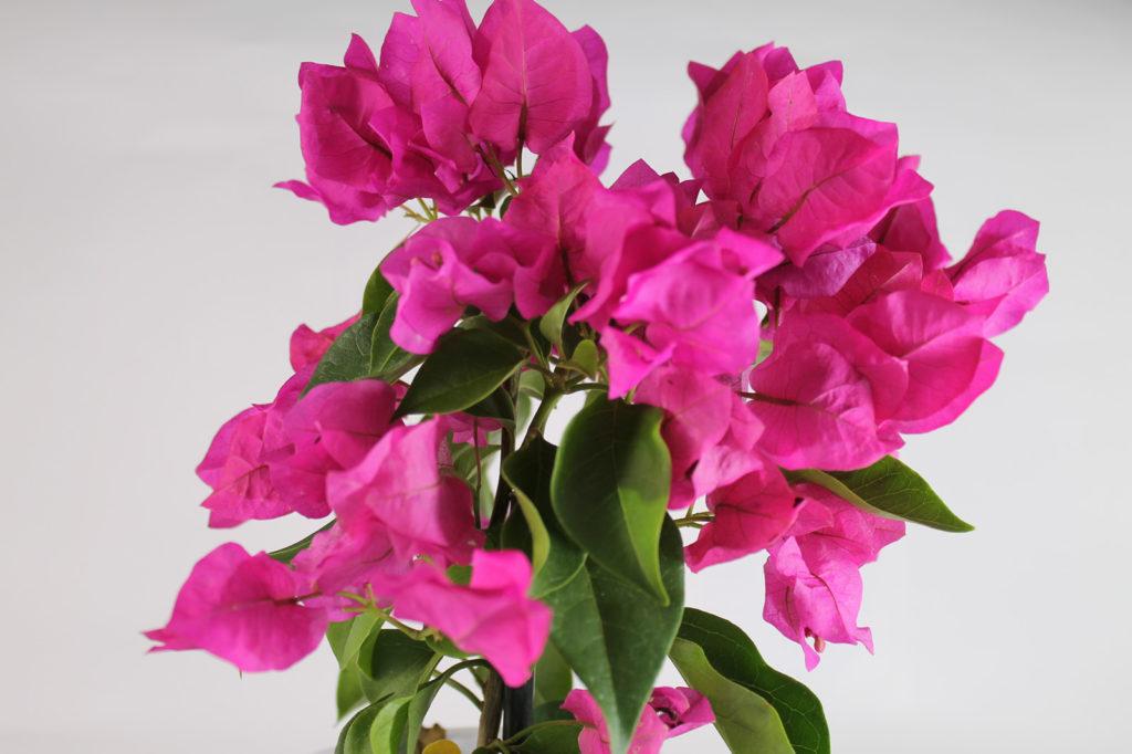 花の咲き方が特徴的なブーゲンビリア