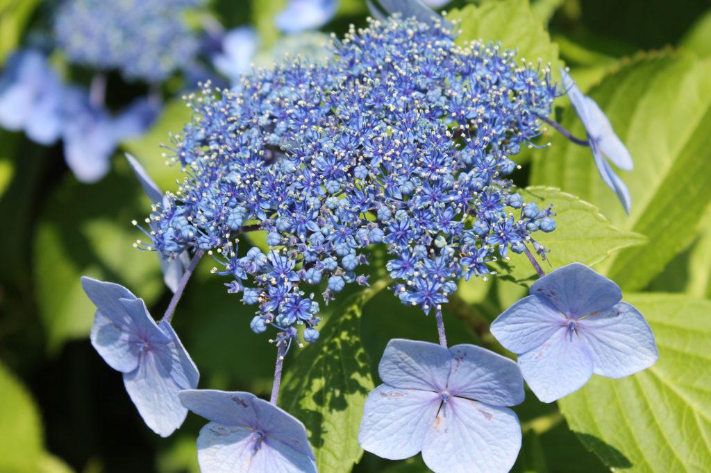 青色の額紫陽花(がくあじさい)