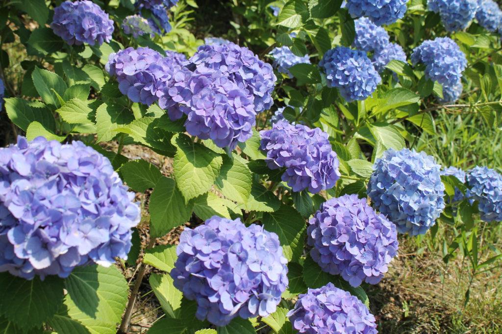 紫陽花:紫から青へグラデーション
