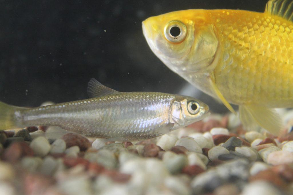 金魚とメダカ2