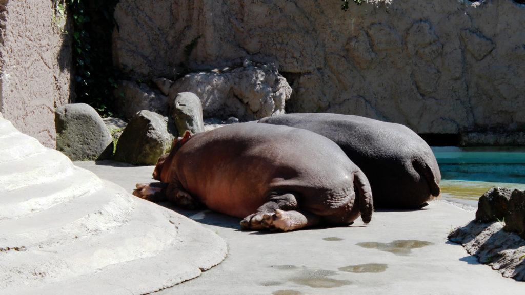 仲良くお昼寝する2頭のカバ