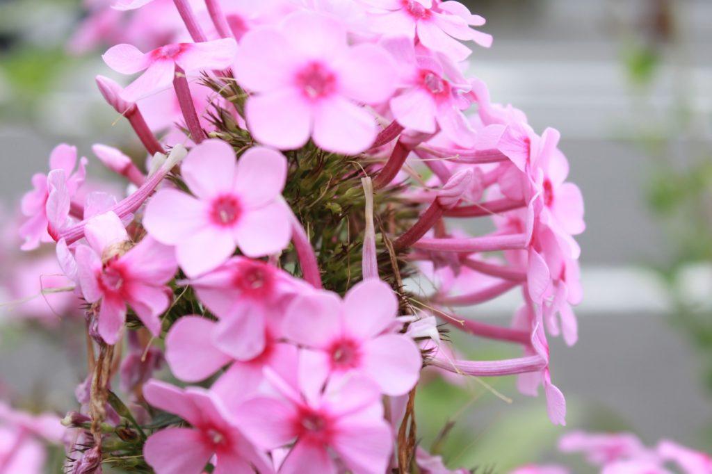 道端に咲くピンク色のゼラニウム
