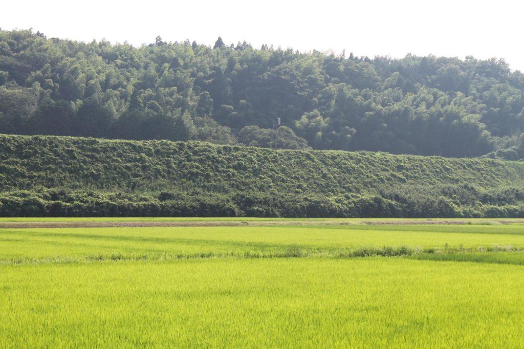 田園の稲と土手の上の単線