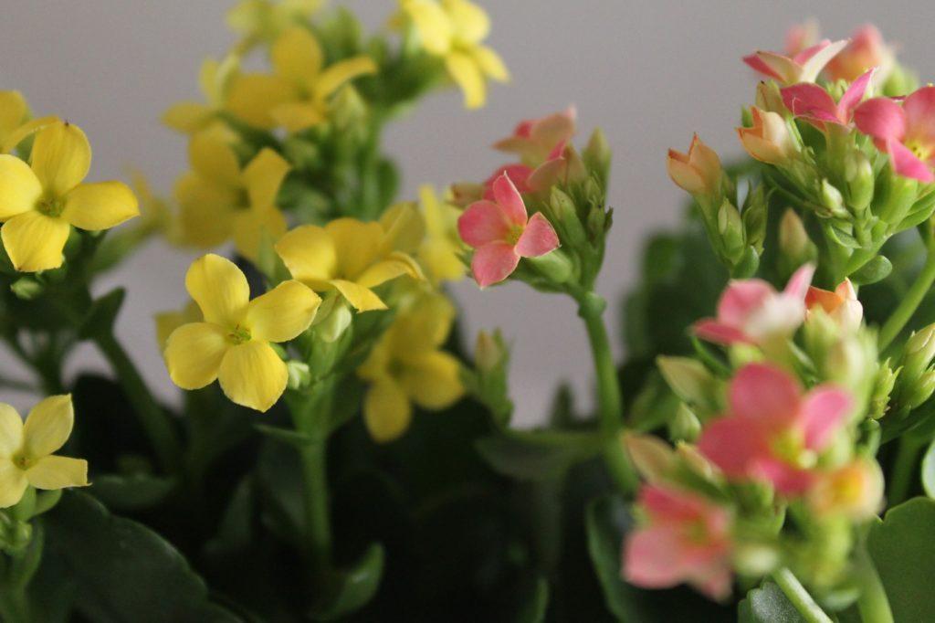 黄色のカランコエ