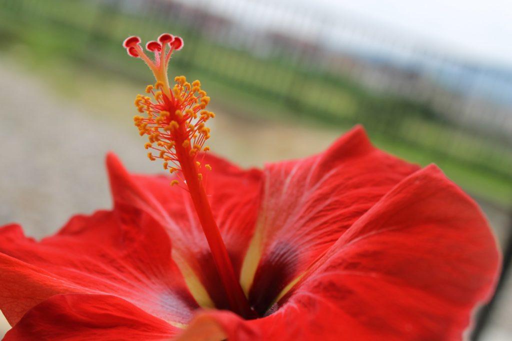 夏の花:ハイビスカス
