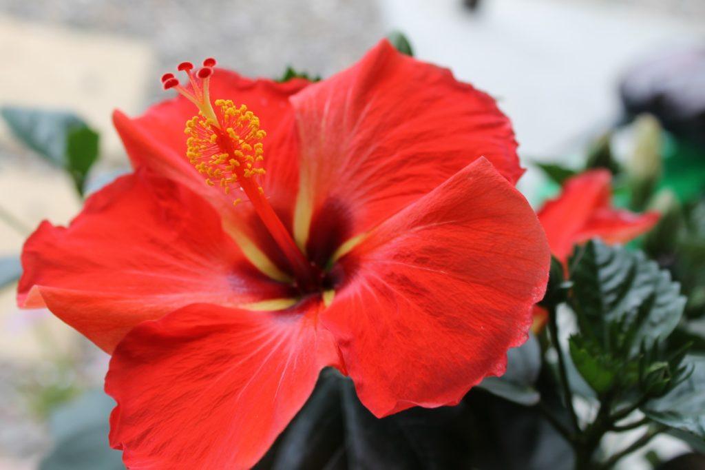 赤く綺麗なハイビスカス