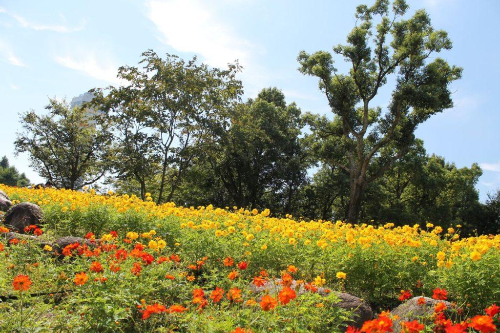 コスモス畑(木曽三川公園)