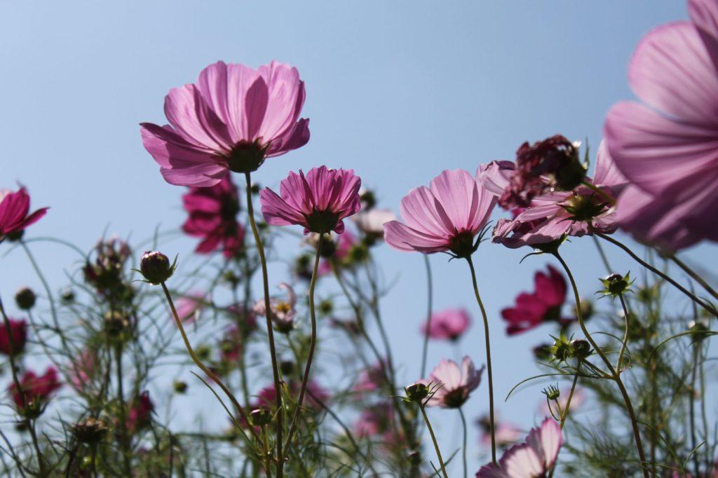 コスモス:紫の花びらが太陽の光を和らげる