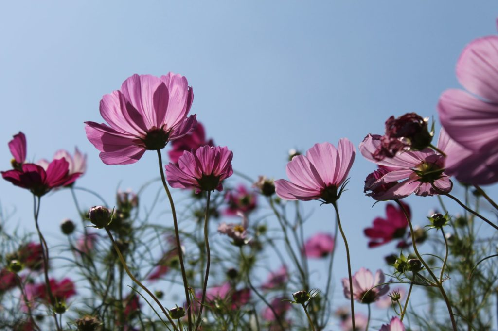 秋の空に向かって優美に咲くコスモスの花