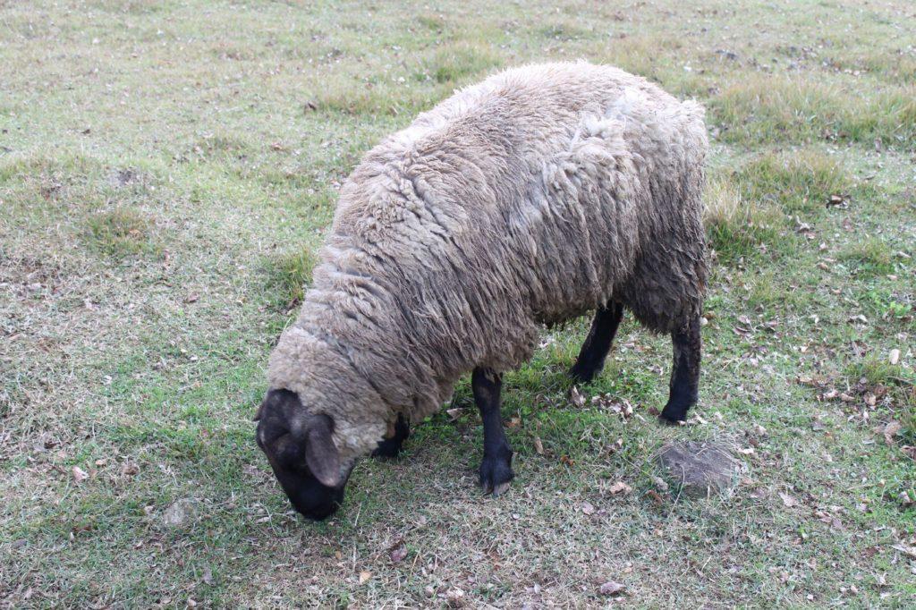 常に食事中のひつじ(羊)