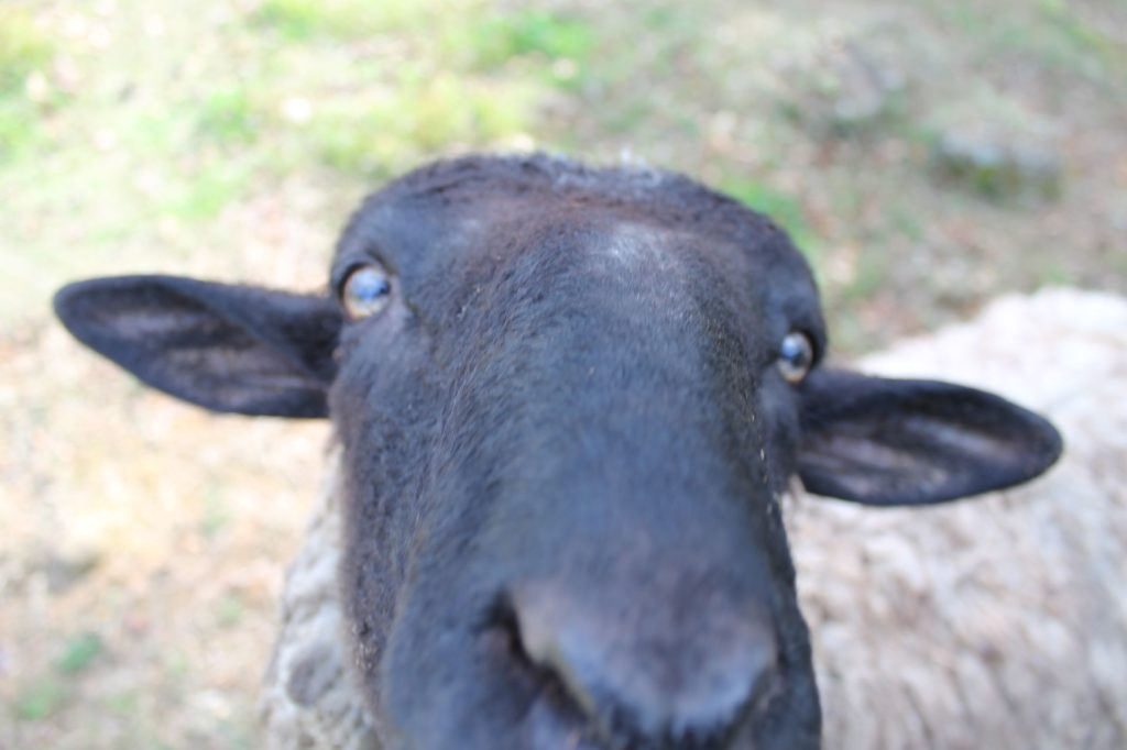 ひつじ(羊)がカメラに大接近