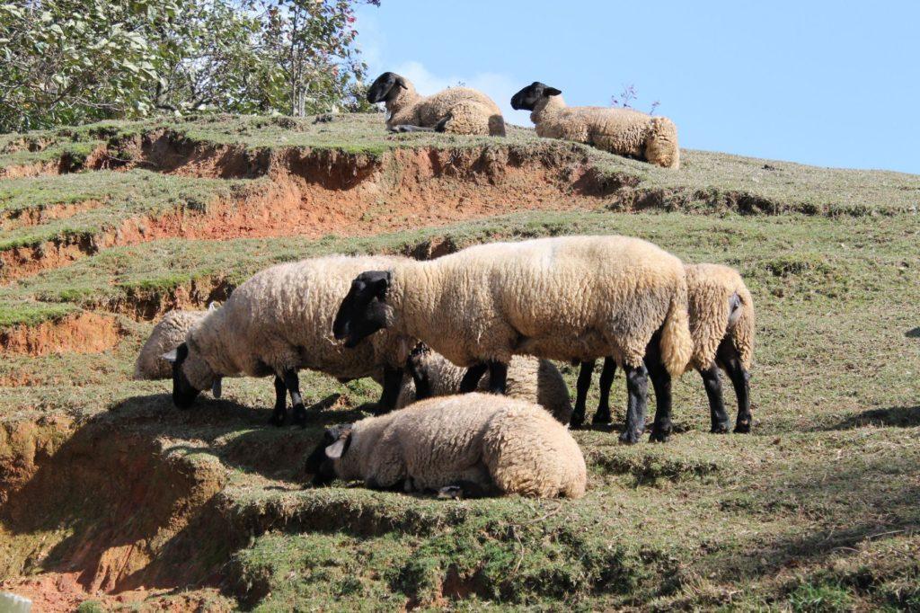 山肌に羊の群れ
