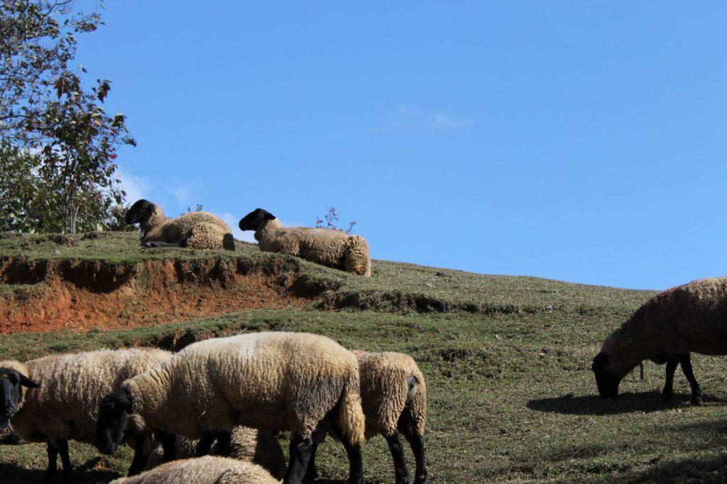 同じ方向を向くひつじ(羊)たち