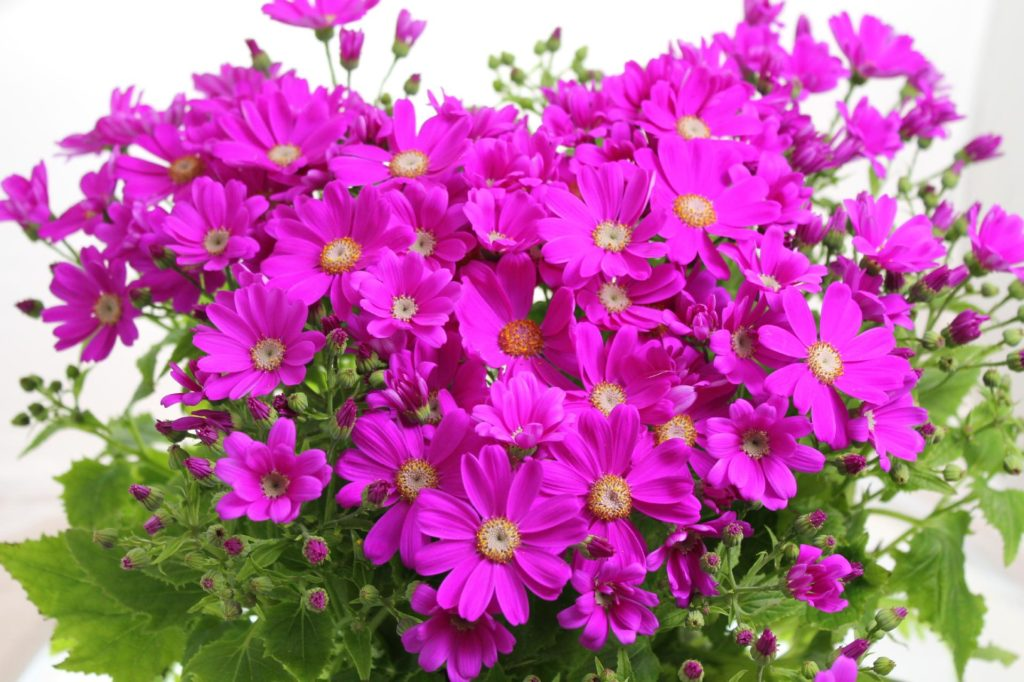 鮮やかな紫色のサイネリア