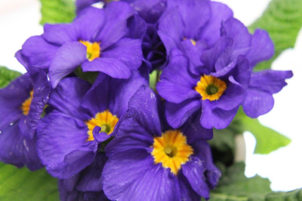 プリムラ・ポリアンサの花言葉、誕生花は..