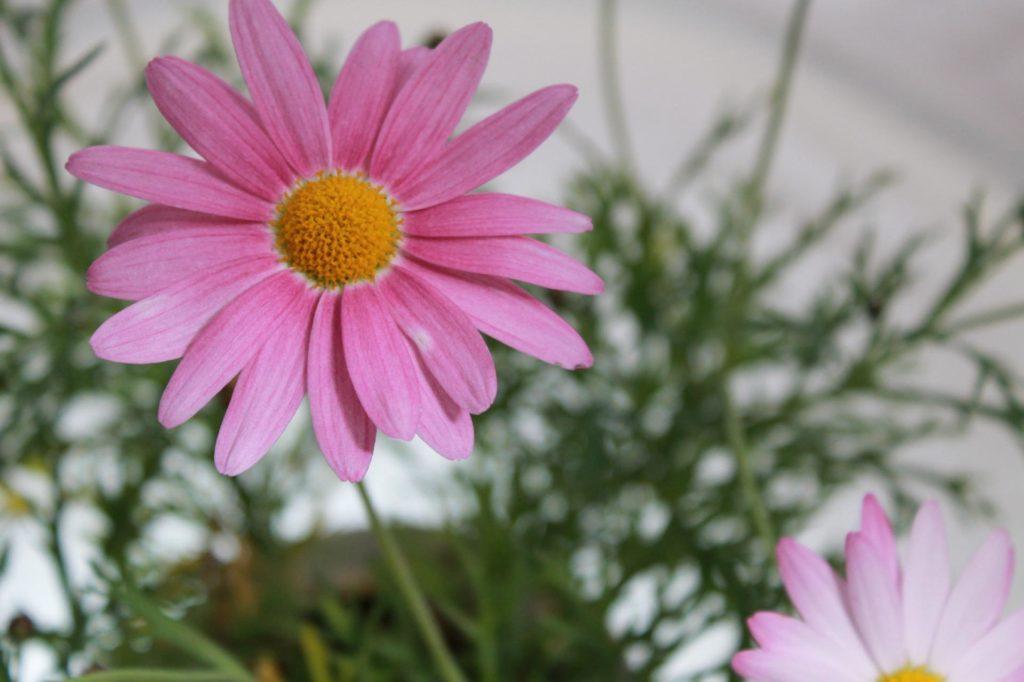 マーガレットの花言葉と花