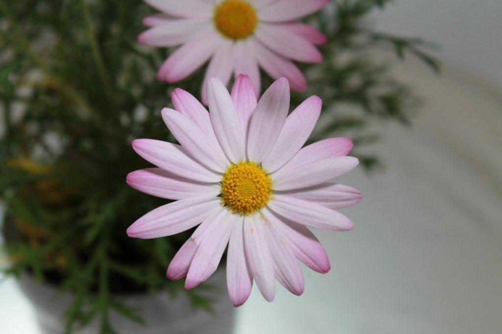 白い花びらのマーガレット