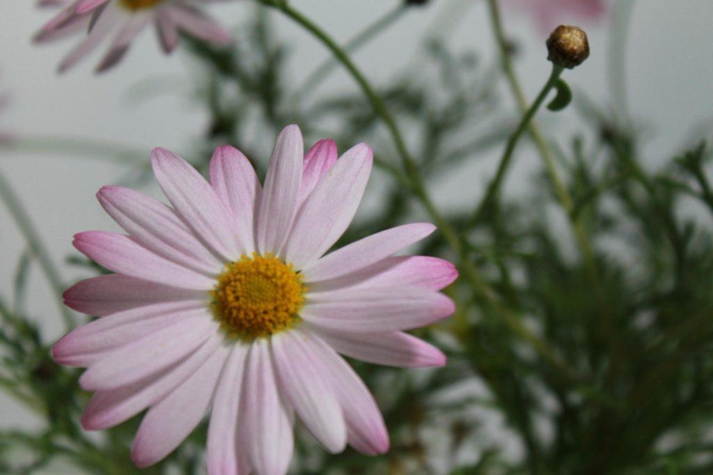 マーガレットの花の別名は何ていうの?