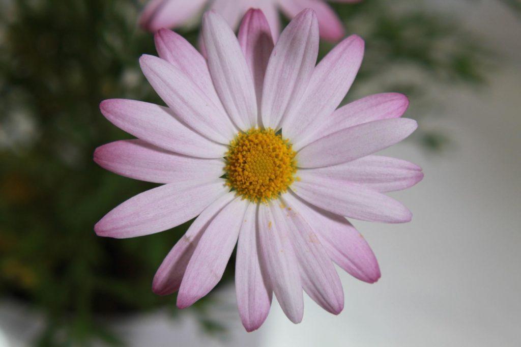 多年草のマーガレット