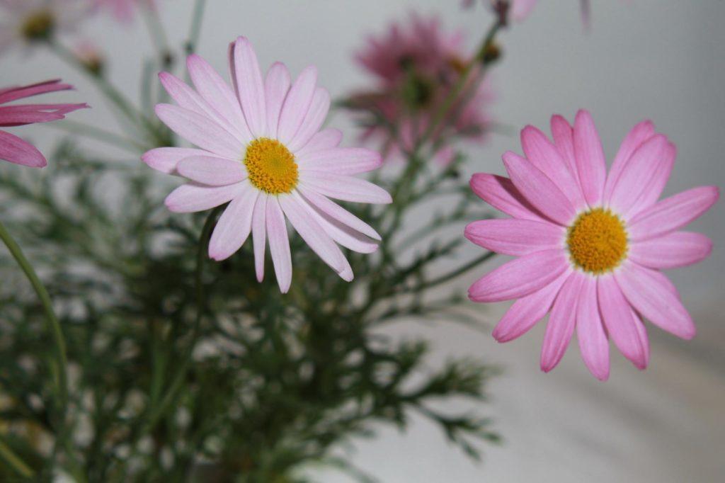 白とピンクのマーガレット2