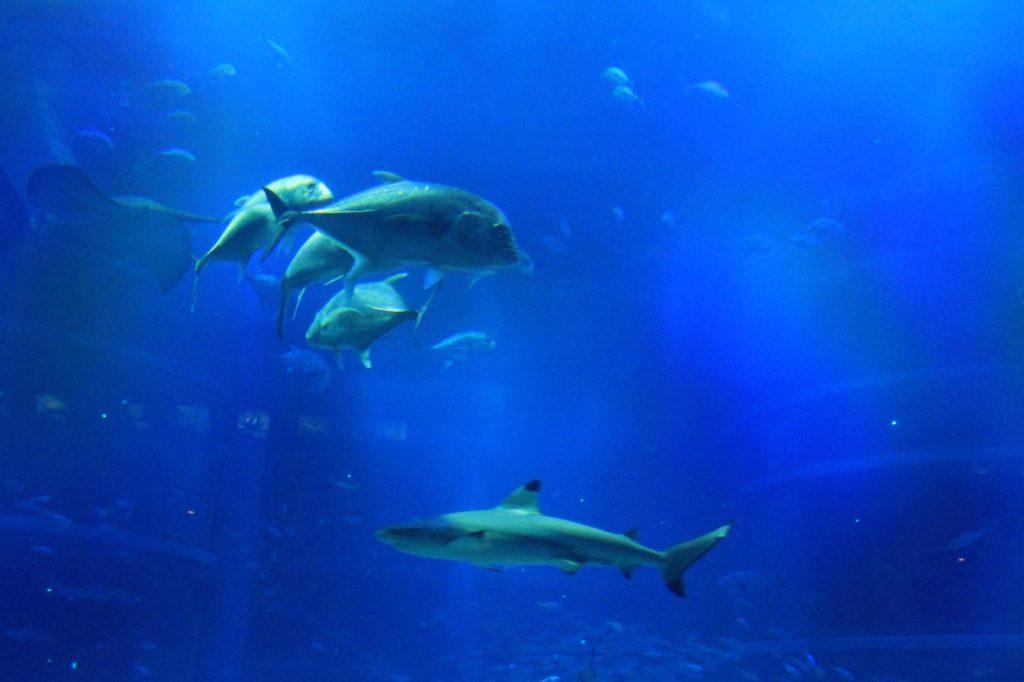 鮫(サメ)の他水槽で泳ぐいろんな魚たち