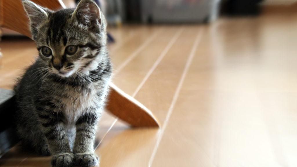 子猫 オス トラ模様 いたずらっ子