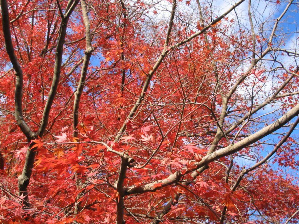 真っ赤な紅葉と青空