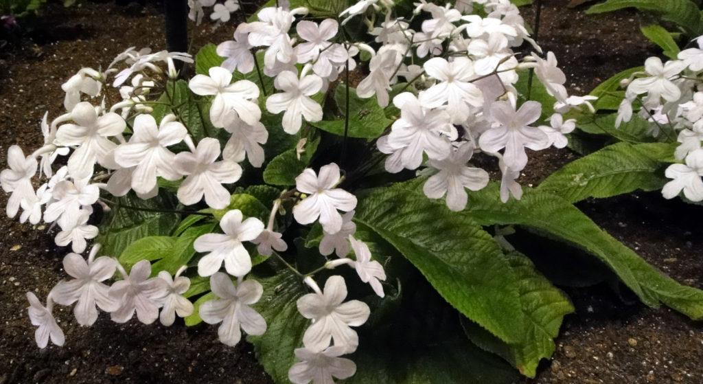 ストレプトカーパスの花言葉、誕生花