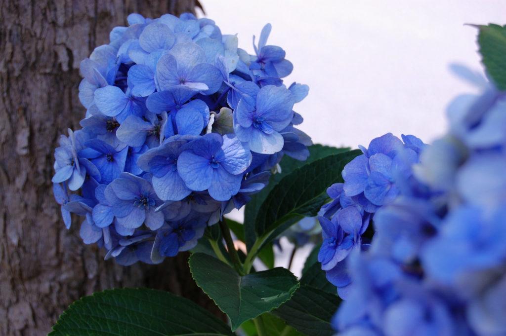 ズームアップ青色の紫陽花(あじさい)