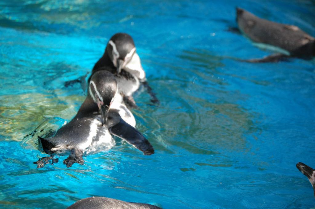 シンクロナイズドスイミングのように息ぴったり毛づくろいするペンギンたち