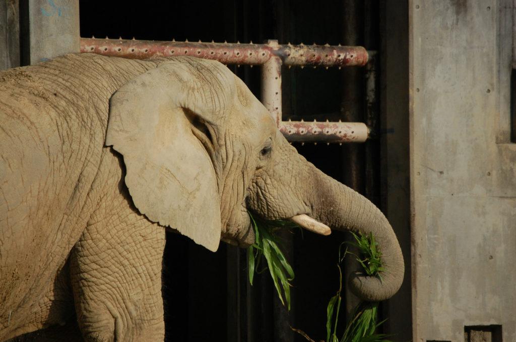 鼻で上手に笹の葉を食べる象